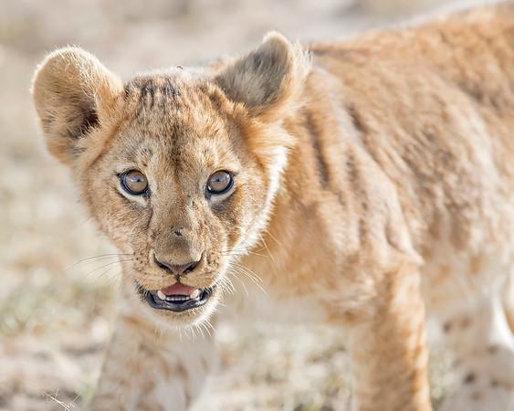 Maasai Mara Lion Cub