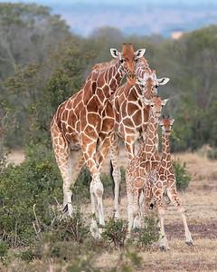 Ol Pejeta Sweetwaters Reticulated Giraffe Family