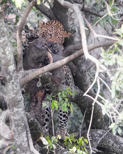 Maasai Mara Leopard With Kill