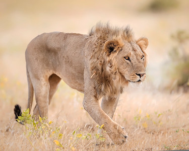 Samburu Male Lion