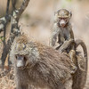Lake Nakuru Baboon mother and infant