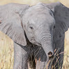 Maasai Mara Juvenile Elephant