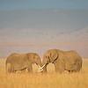 Maasai Mara Battling Elephants