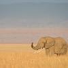 Maasai Mara Bull Elephant