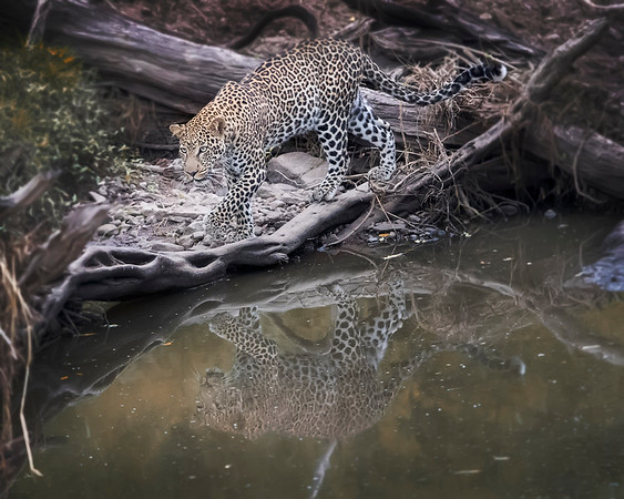 Maasai Mara Leopard Reflection