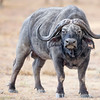 Ol Pejata Conservancy Park Sweetwaters Cape Buffalo