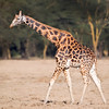 Lake Nakuru Rothschild Giraffe