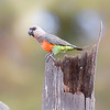 Samburu Red-bellied Parrot