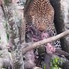 Maasai Mara Leopard With Kill