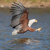 Lake Naivasha African Fish Eagle