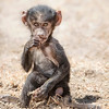 Lake Nakuru Baboon infant