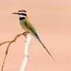 Samburu National Reserve White-throated Bee-eater