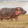 Maasai Mara Hippo