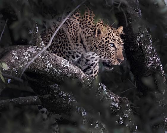 Maasai Mara Blue-eyed Leopard