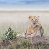 Maasai Mara Female Lion