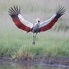 Maasai Mara Crowned Crane