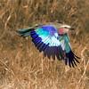Maasai Mara Lilac-breasted Roller