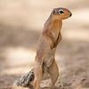 Samburu National Reserve Unstriped Ground Squirrel
