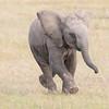 Maasai Mara Running Juvenile Elephant