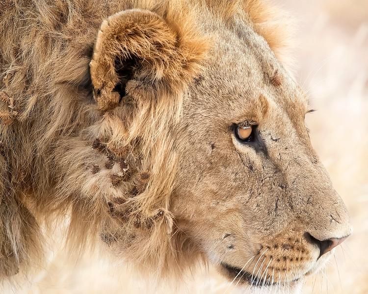 Samburu Male Lion