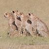 Maasai Mara Cheetahs