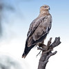Lake Nakuru Tawny Eagle