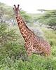 Giraffe in Tarangire National Park