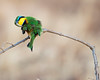 Tarangire Little Bee-eater