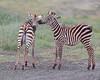 Ngorongoro Crater Zebras