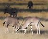 Samburu Oryx's