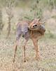 Masai Mara Dik Dik