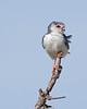 Seregengeti African Pygmy Falcon