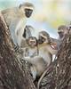 Ngorongoro Crater Vervet Monkeys