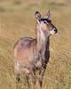 Samburu Waterbuck
