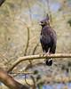 Lake Nakuru Long-crested Eagle
