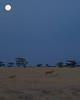 Samburu Moon-rise with Lions