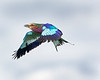 Serengeti Lilac Breasted Roller