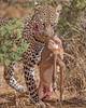 Samburu Leopard with Impala Kill
