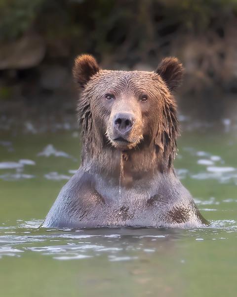 Kodiak Island Brown Bear