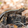 "This photograph of a Broad-tailed Girdled Lizard was captured in Kirindy Reserve in Madagascar, Africa (9/15). <font color=""RED""><h5>This photograph is protected by International and U.S. Copyright Laws and shall not to be downloaded or reproduced by any means without the formal written permission of Ken Conger Photography.<font color=""RED""></font></h5></font>"