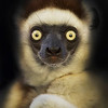 """This photograph of a Verreaux's Sifaka was captured in Berenty Reserve in Madagascar, Africa (9/15). <font color=""""RED""""><h5>This photograph is protected by International and U.S. Copyright Laws and shall not to be downloaded or reproduced by any means without the formal written permission of Ken Conger Photography.<font color=""""RED""""></font></h5></font>"""