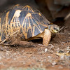"""This photograph of a Radiated Tortoise was captured in Berenty Reserve Park in Madagascar, Africa (9/15). <font color=""""RED""""><h5>This photograph is protected by International and U.S. Copyright Laws and shall not to be downloaded or reproduced by any means without the formal written permission of Ken Conger Photography.<font color=""""RED""""></font></h5></font>"""