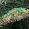 "This photograph of a Parson's Chameleon was captured in Andasibe National Park in Madagascar, Africa (9/15). <font color=""RED""><h5>This photograph is protected by International and U.S. Copyright Laws and shall not to be downloaded or reproduced by any means without the formal written permission of Ken Conger Photography.<font color=""RED""></font></h5></font>"