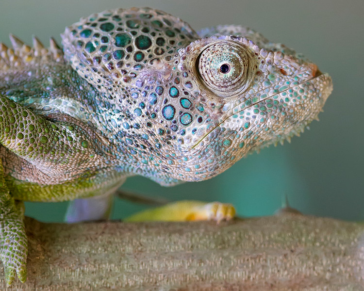 "This photograph of a Warty Chameleon was captured in Berenty Reserve in Madagascar, Africa (9/15). <font color=""RED""><h5>This photograph is protected by International and U.S. Copyright Laws and shall not to be downloaded or reproduced by any means without the formal written permission of Ken Conger Photography.<font color=""RED""></font></h5></font>"