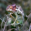 "This photograph of a Warty Chameleon was captured in Nahampoana Reserve in Madagascar, Africa (9/15). <font color=""RED""><h5>This photograph is protected by International and U.S. Copyright Laws and shall not to be downloaded or reproduced by any means without the formal written permission of Ken Conger Photography.<font color=""RED""></font></h5></font>"
