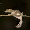 "This photograph of a Mossy Leaf-tailed Gecko was captured in Andasibe-Mantadia National Park in Madagascar, Africa (9/15). <font color=""RED""><h5>This photograph is protected by International and U.S. Copyright Laws and shall not to be downloaded or reproduced by any means without the formal written permission of Ken Conger Photography.<font color=""RED""></font></h5></font>"