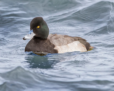 Choptank River Male Scaup Duck