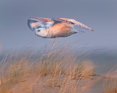 Assateague Island National Seashore Snowy Owl