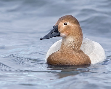 Choptank River Female Canvasback Duck