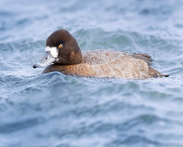Choptank River Female Scaup Duck
